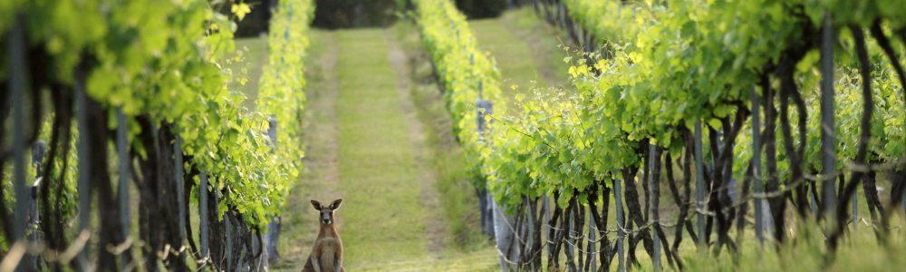 Hunter-Valley-vines